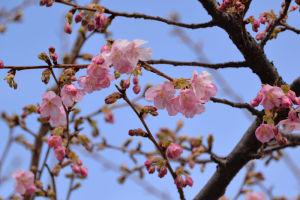 青空に河津桜は絵になります