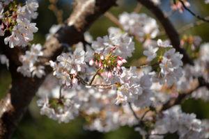 瀬戸神社の玉縄桜