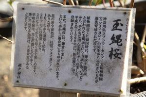 玉縄桜の案内