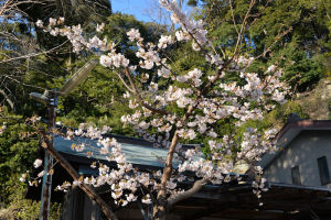 一足早く咲く玉縄桜