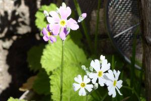 白と薄紫のサクラソウ
