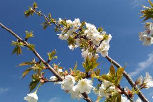 青空と山桜
