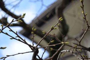 柿の木が芽吹いてきました