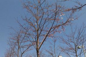 段葛の桜はまだ2分咲