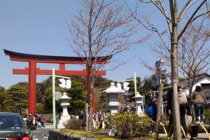 鎌倉鶴岡八幡宮段葛の桜