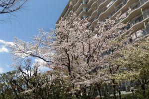 金沢八景イオン近くの桜とマツキヨ