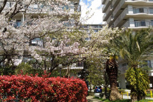 赤の生垣と桜