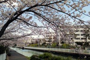 宮川沿いの桜