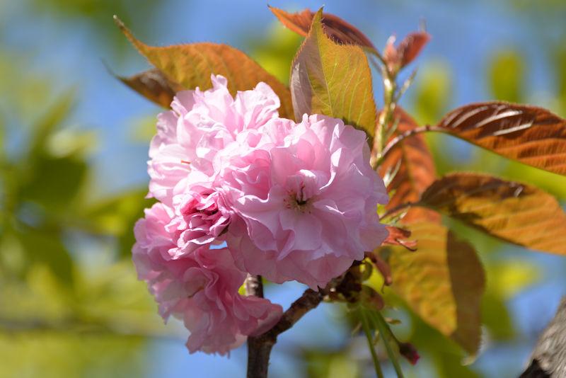 八重桜が満開になってきました