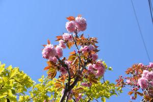 青空にきれいなピンク色の花