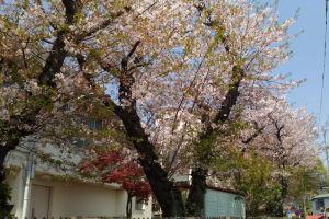 大道小学校があり体育館脇の桜