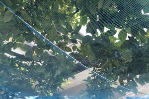 昨年に続き柿の落下防止ネット