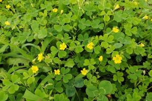 クローバーとカタバミの黄色い花