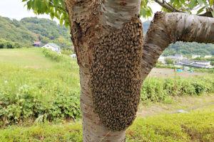 湘南国際村桜の木にミツバチの大群