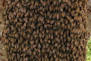 桜の木にミツバチの大群