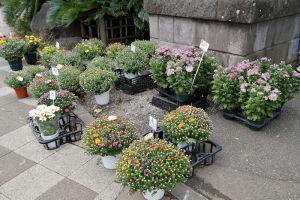 神社鳥居前には菊がたくさん
