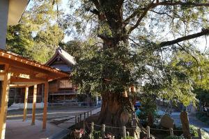 横浜市名木古木指定の「カヤの木」