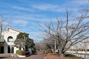 遊歩道沿いには桜並木が続きます