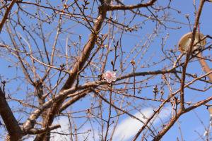 もう1本の河津桜