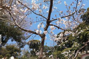 玉縄桜は8本ほどあり
