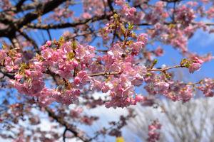 続々・公園の河津桜