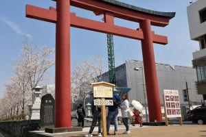 鎌倉鶴岡八幡宮 段葛の桜