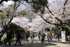 鎌倉・源氏山公園のさくら