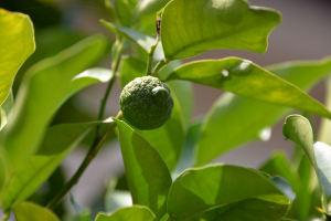 今年の柚子