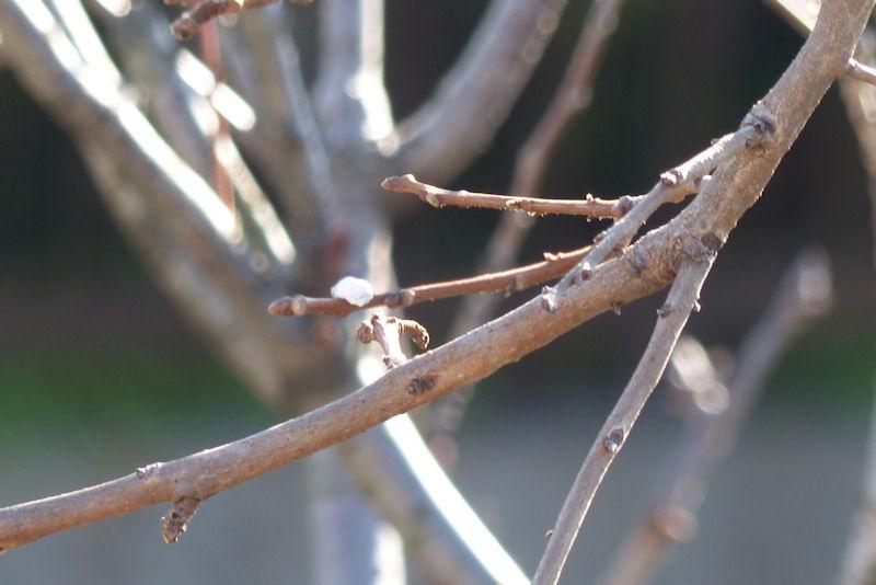枝の先にまだいくつか残って