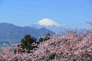 一足早く「まつだ桜まつり」