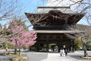 鎌倉建長寺のオカメザクラ