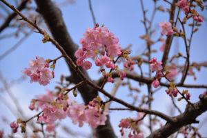 公園の河津桜が咲いてきました