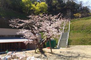 金沢八景西公園の桜は満開でした