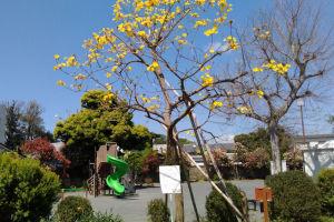 六浦白梅公園の「イペの木」