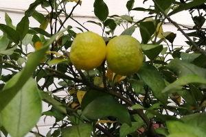 今年の柚子とミカン