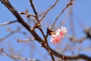 公園の河津桜が咲き始めました