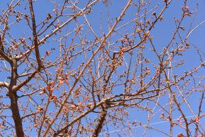 続・公園の河津桜