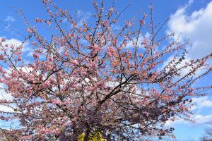 河津桜が2本あります