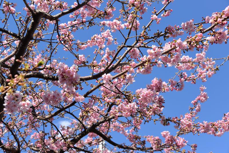 ピンク色河津桜、青空によく映えて