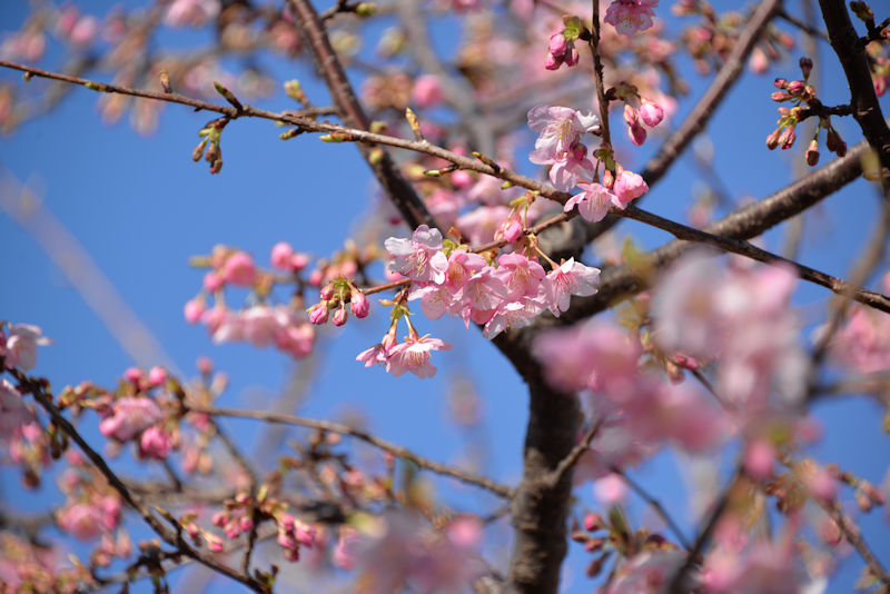 ピンク色の河津桜、青空によく映えて