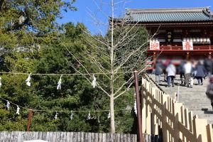 昨年のお正月の鶴岡八幡宮大銀杏