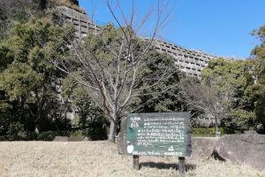 小柴埼緑道脇には『弘前城のさくら』が植樹