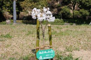 2011年1月に植樹された苗木