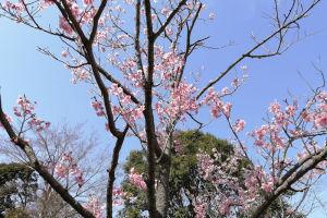 霊園内の桜は一気に開花