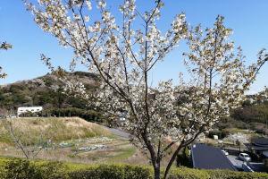 青空に桜がきれいです