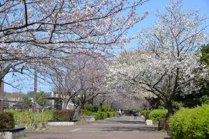 金沢区内の桜