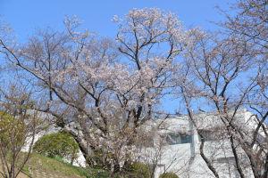 神奈川県立循環器呼吸器病センターの桜