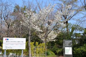 金沢シーサイドタウン並木二丁目の桜
