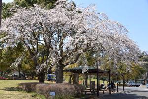 長浜公園の大きなしだれ桜