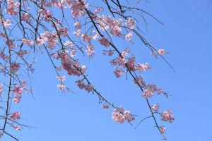もう1本ピンク色のしだれ桜